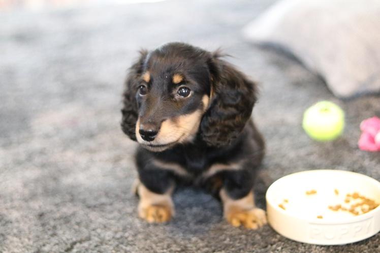 Biscuit puppy - 11 weeks old